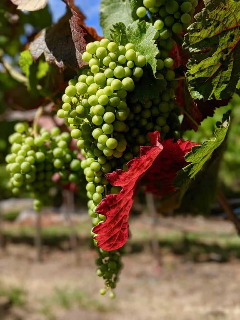 Green grapes hanging from the vine, being embraced by a beautiful red leaf.