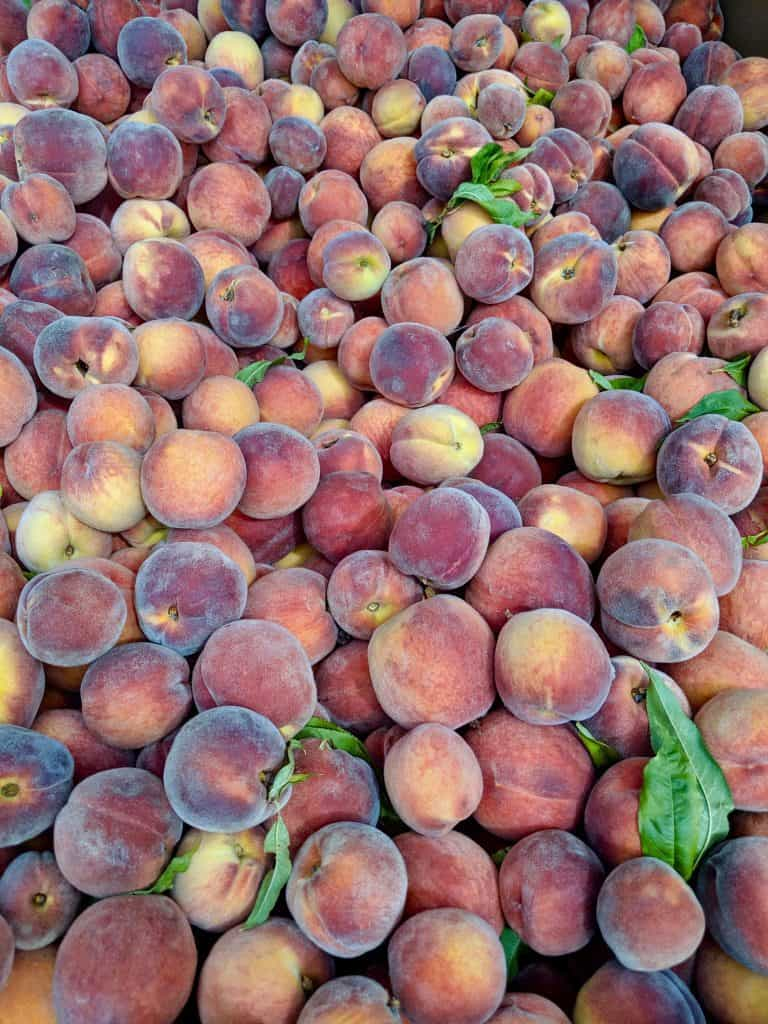 An orchard's giant bin of ripe peaches.