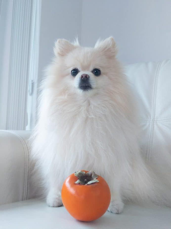 A pomeranian sitting behind a persimmon.