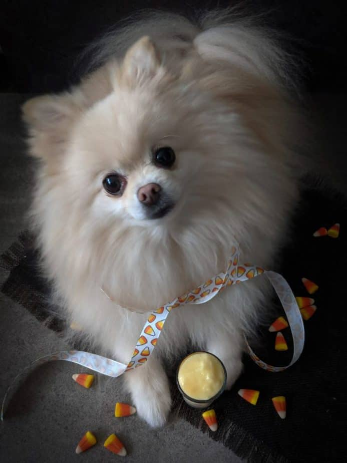 A pomeranian wearing a candy corn ribbon, with a miniature candy corn smoothie.